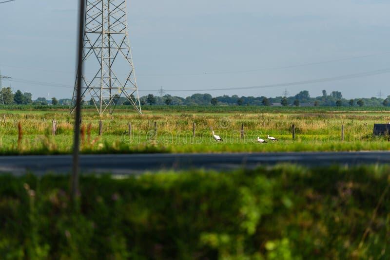 En las cigüeñas de un campo que buscan la comida para su joven fotografía de archivo