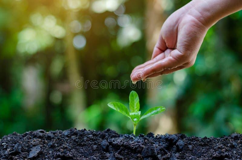 En las manos de los árboles que crecen almácigos Bokeh pone verde la mano femenina del fondo que sostiene el árbol en la protecci imágenes de archivo libres de regalías