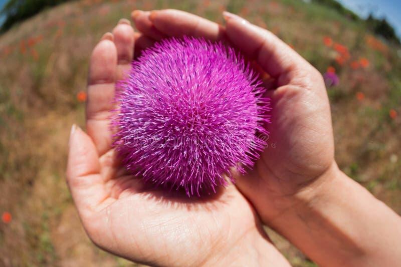 En las palmas de manos femeninas una flor grande del cardo, fotografía macra, planta medicinal del concepto, contra la perspectiv foto de archivo libre de regalías