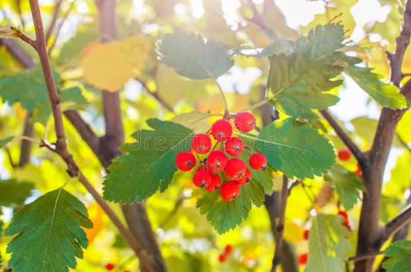 En las ramas de una ceniza de montaña son los racimos de bayas rojas imágenes de archivo libres de regalías