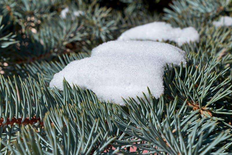 En las ramas del pino o de la picea es la nieve blanca pura fotografía de archivo libre de regalías