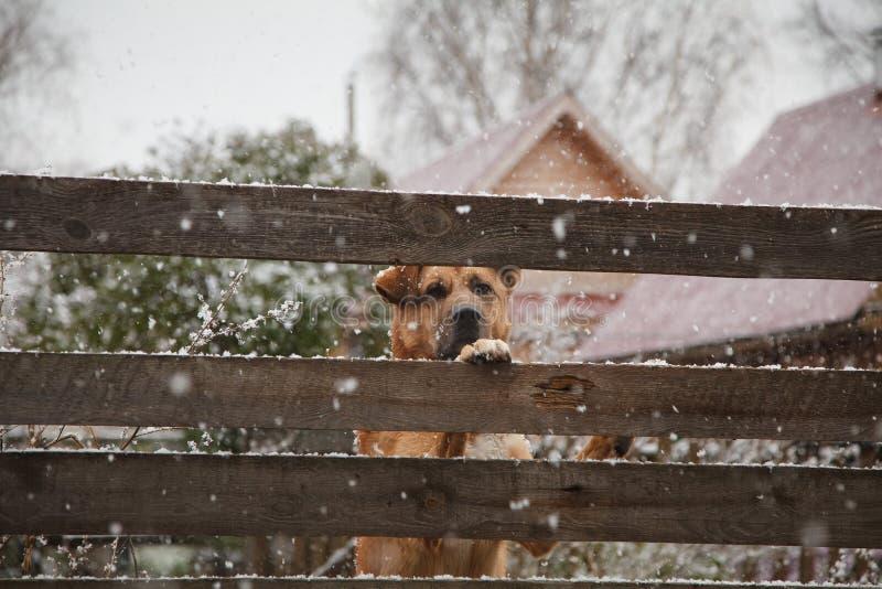 En ledsen hund bak ett staket i vinter arkivbild