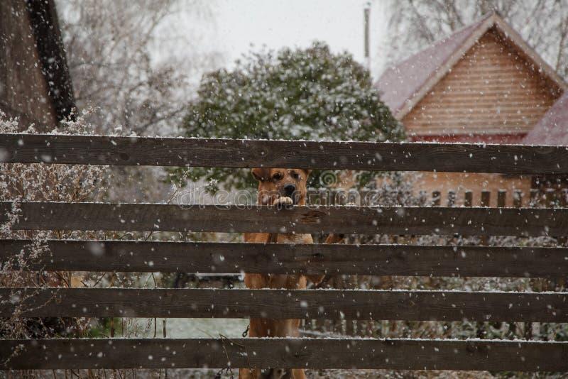 En ledsen hund bak ett staket i vinter fotografering för bildbyråer