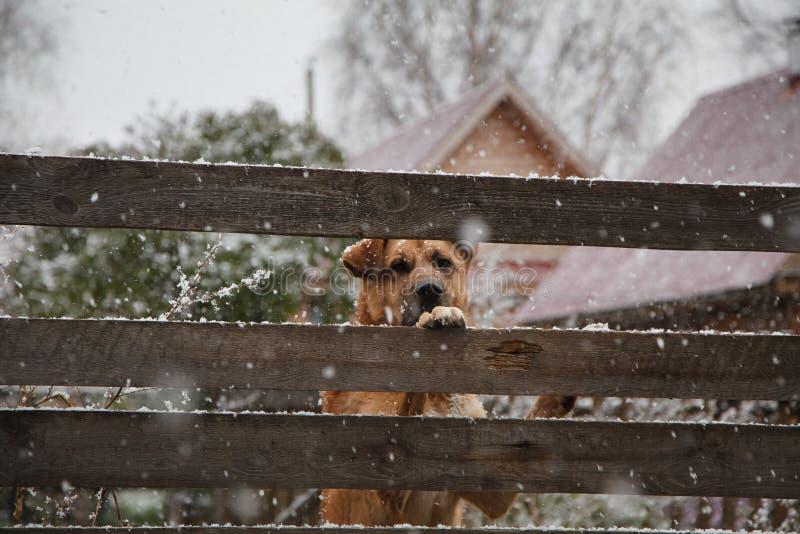 En ledsen hund bak ett staket i vinter royaltyfri fotografi