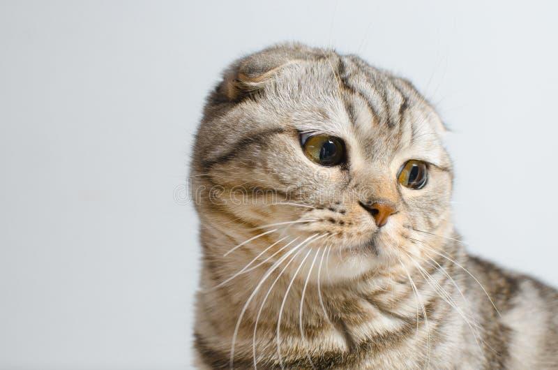 En ledsen men gullig skotsk slokörad katt sitter på en vit isolator arkivfoton