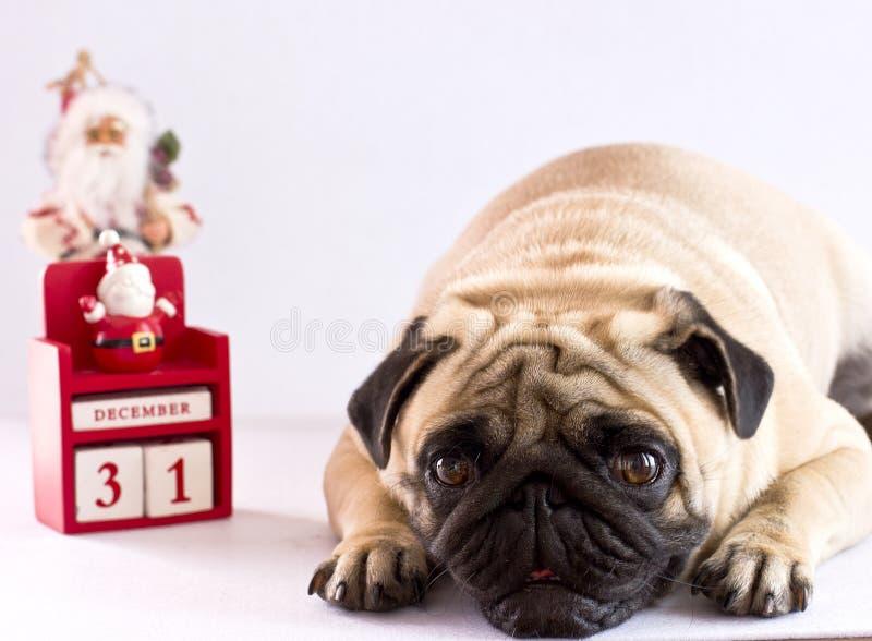 En ledsen mops som ligger på en vit bakgrund med kalendern för nytt år arkivfoton