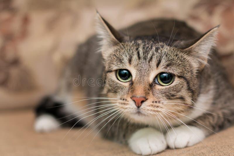 En ledsen strimmig kattkatt med vit tafsar och en mustasch royaltyfria bilder
