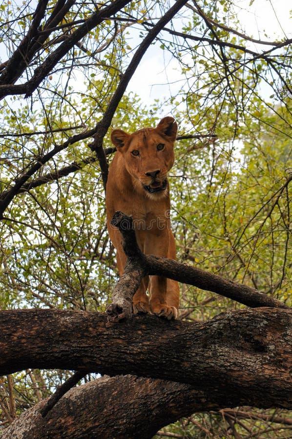 En lejoninna i ett träd i sjön parkerar, Tanzania royaltyfria bilder