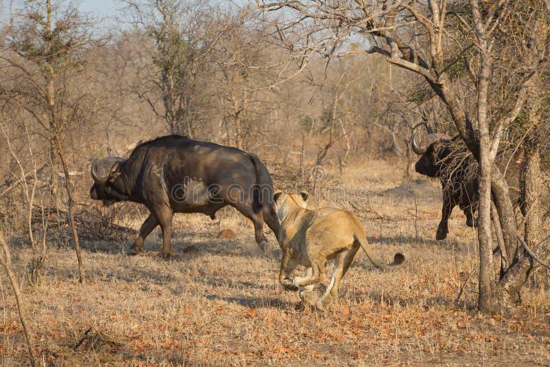 En lejoninna som jagar en buffel arkivfoto