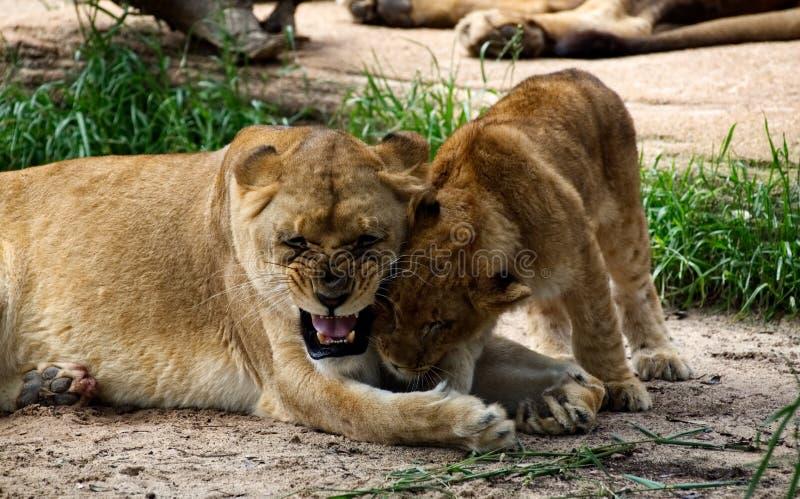 En lejoninna som spelar med hennes gr?ng?ling arkivbild