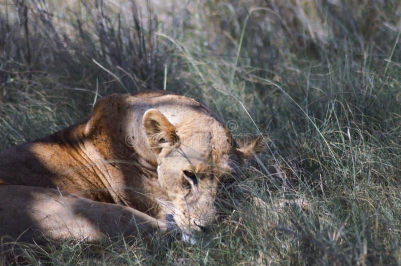 En lejoninna som under ligger arkivfoto