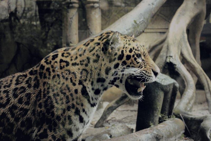 En leopard i safariträdgård royaltyfria bilder