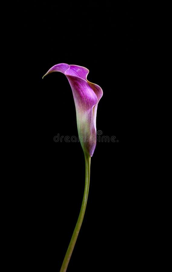 En lilja för rosa Calla på svart bakgrund arkivfoto