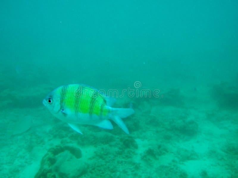 En liten fisk som är undervattens- i havet royaltyfri bild