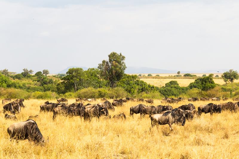 En liten flock av gnu i savannahen kenya mara masai arkivbilder
