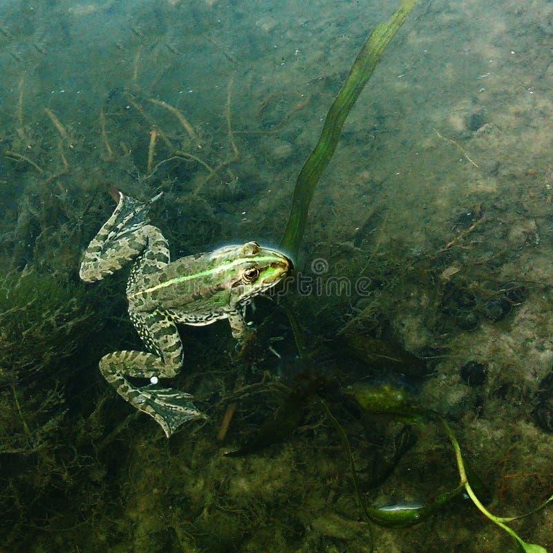 En liten groda i ett damm bland havsväxten kikar ut ur vattnet arkivbilder