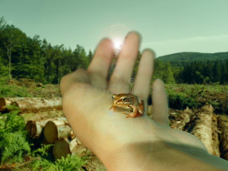 En liten groda i en hand för kvinna` s mot bakgrunden av en huggen av skog royaltyfria bilder