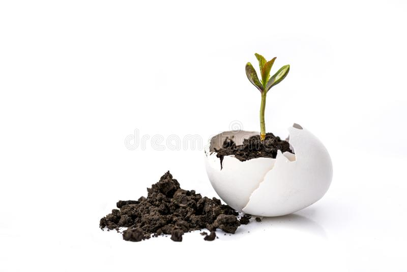 En liten grodd av ett träd eller en växt växer i jordningen i en äggskal på en vit bakgrund med utrymme för text som annonserar arkivfoto