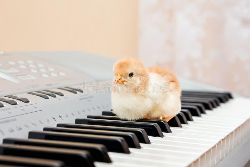 En liten gul fågelunge på tangenterna av pianot Första steg I royaltyfri fotografi
