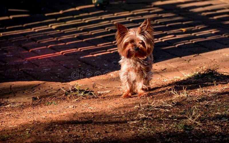 En liten hund i solen för sen eftermiddag arkivfoton