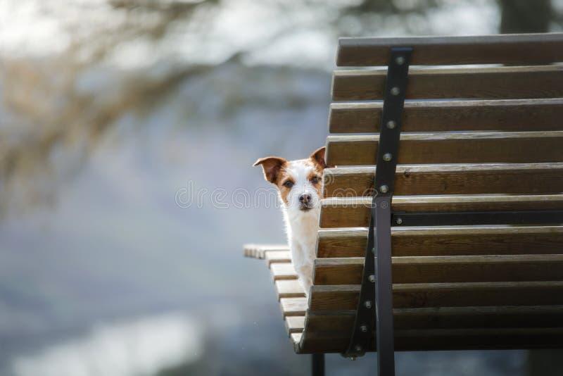 En liten hund sitter på en bänk och blickar gullig stålar russell i natur royaltyfri fotografi