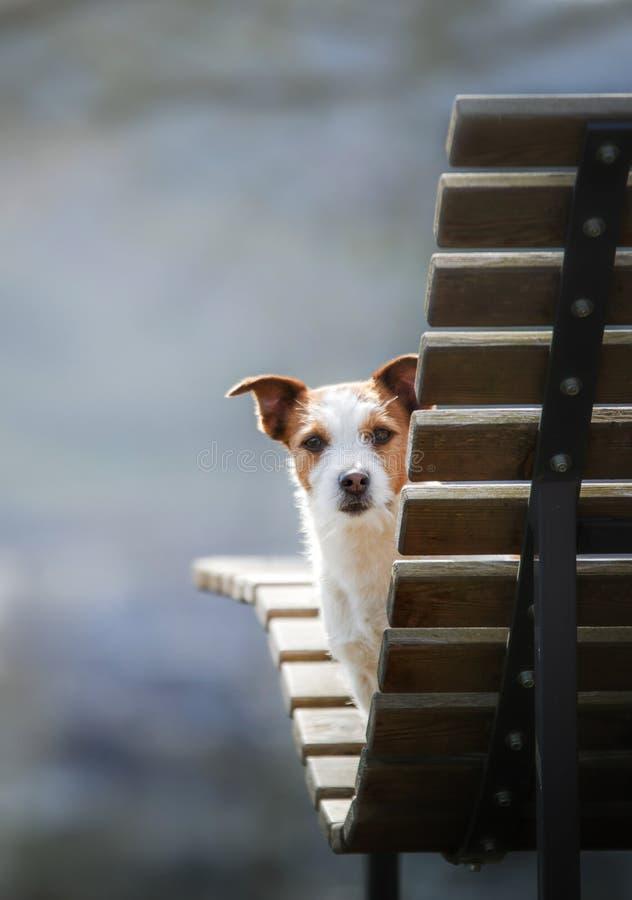 En liten hund sitter på en bänk och blickar gullig stålar russell i natur royaltyfria bilder