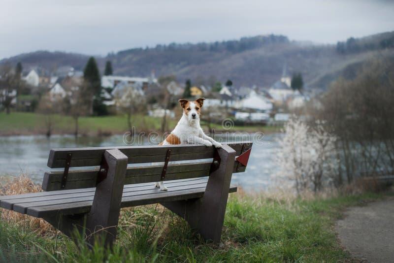 En liten hund sitter på en bänk och blickar gullig stålar russell i natur arkivfoton