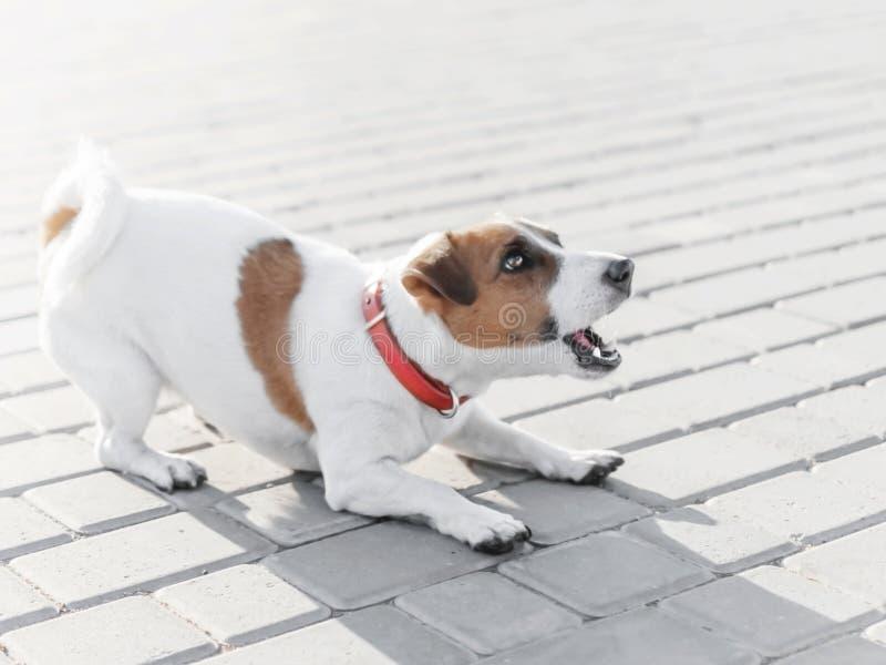 En liten hundstålarrussell terrier i röd kragespring, banhoppning som spelar och skäller på den gråa trottoartegelplattan på soli royaltyfri foto