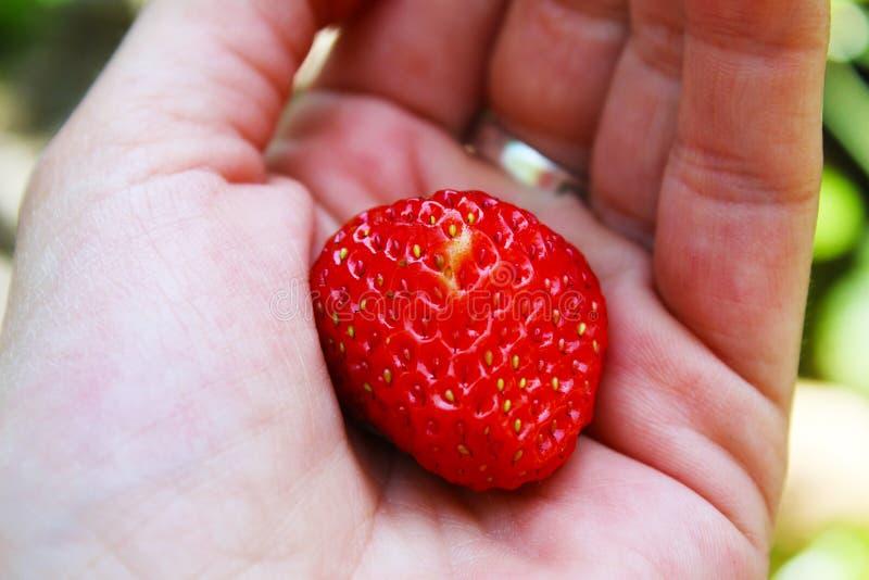 En liten jordgubbe i min hand, organisk trädgårdbakgrund arkivbild