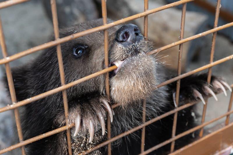 En liten Kamchatka brunbjörngröngöling gnag ett aviariumgaller i en zoo fotografering för bildbyråer