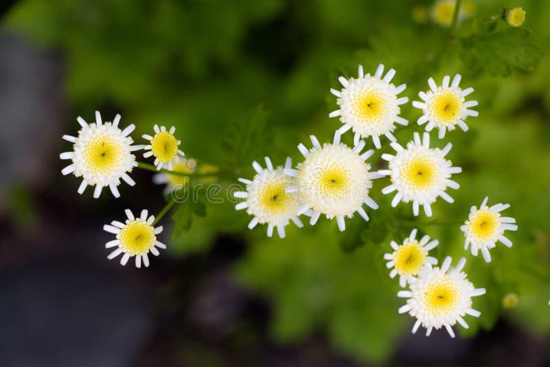 En liten klunga av vita blommor i trädgården på en solig glänta Blommor växer i små buketter, men i stora antal i ett ställe royaltyfria foton