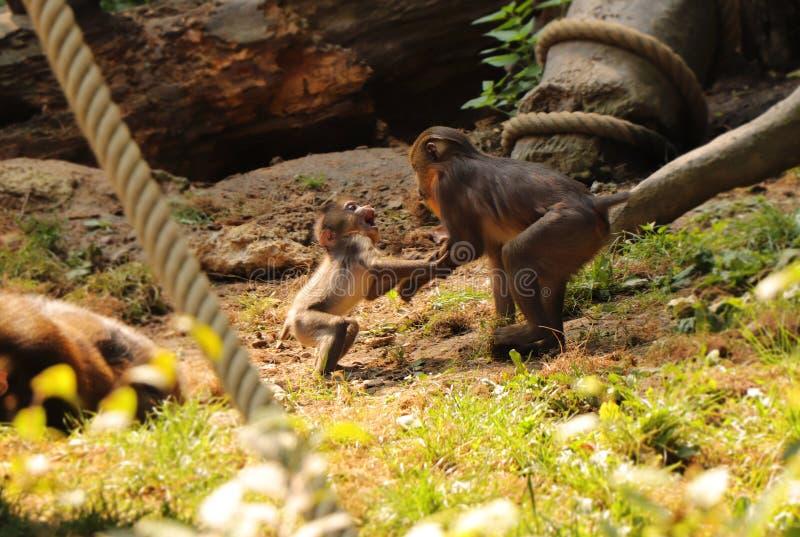 En liten och ung apa som spelar med äldre broder Denna primat namngav mandrillussfinxen arkivbilder