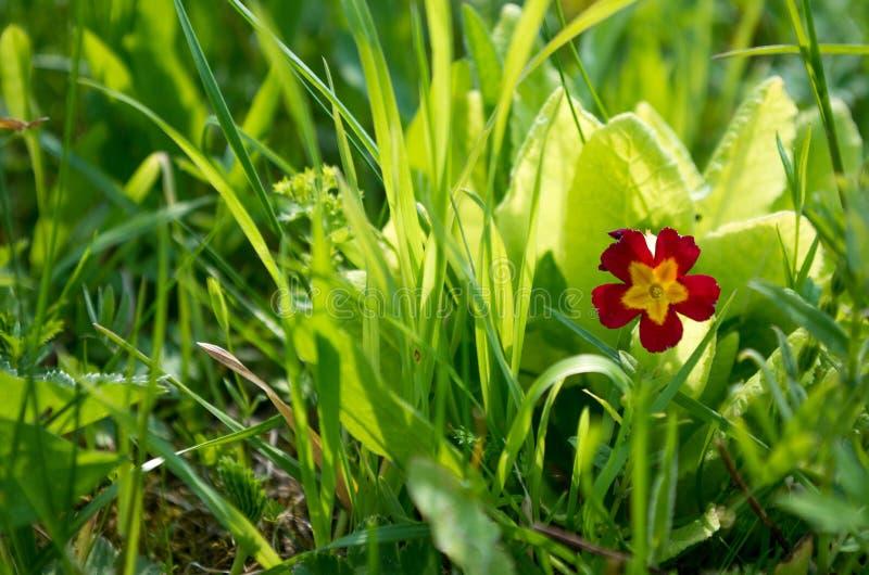 En liten röd-guling blomma med fem kronblad royaltyfri bild