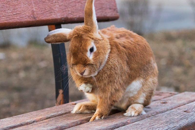 En liten, rödhårig, fluffig inhemsk kanin sitter på en träbänk på en stadsgata royaltyfri foto