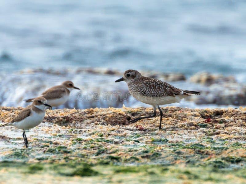 En liten seagull promenerar blir grund på kusterna av medelhavet i sökande av rovet royaltyfri bild