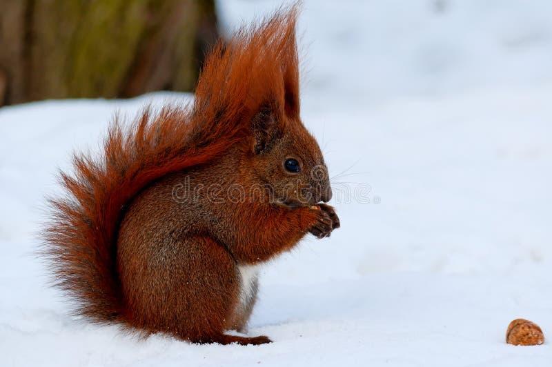 En liten spring för röd ekorre på vit snö royaltyfri fotografi