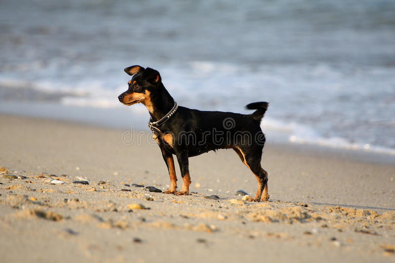 En liten svart miniatyrPinscher på stranden arkivbilder