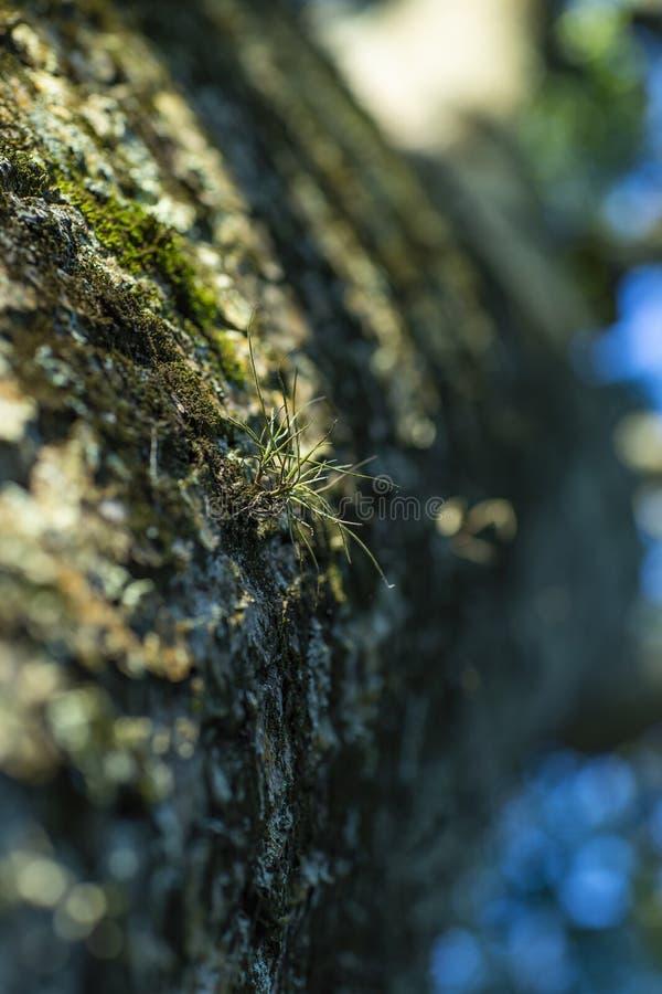 En liten trädväxt som växer på grön mossa och träd Parasitisk växt royaltyfri fotografi