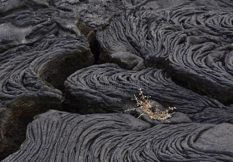 En liten växt spirar i en Lava Field arkivfoton