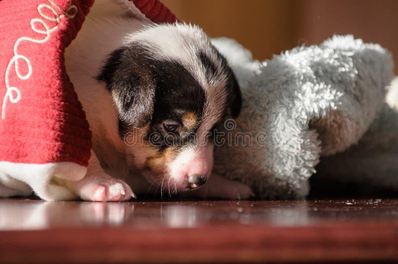 En liten valp, Jack Russell Terrier, öppnade hans ögon för första gången och ser världen på ögonen Hunden ligger på ett mjukt fotografering för bildbyråer
