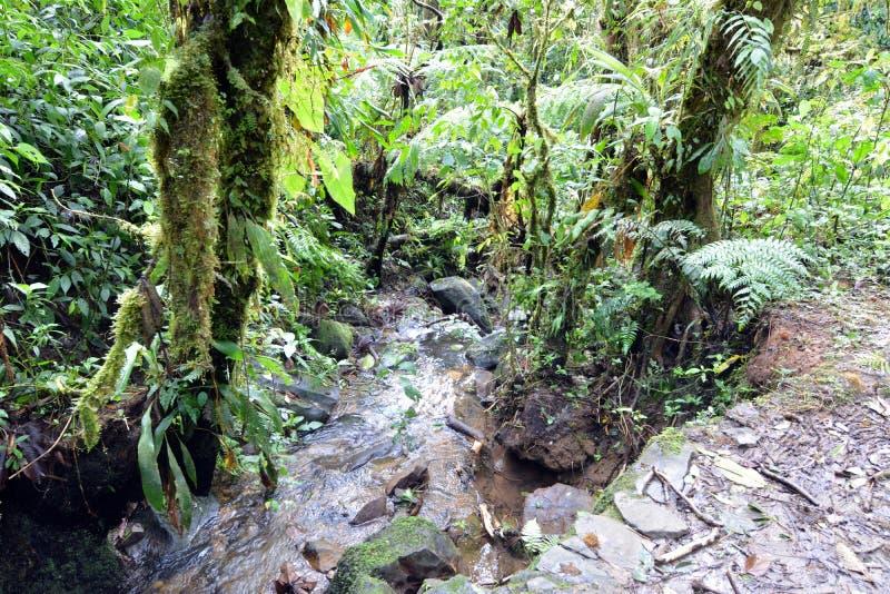 En liten vattenfall och tropiska träd som vrids av lockiga vinrankor och parasit och som är bevuxna med mossa Moteverde Costa Ric royaltyfria foton