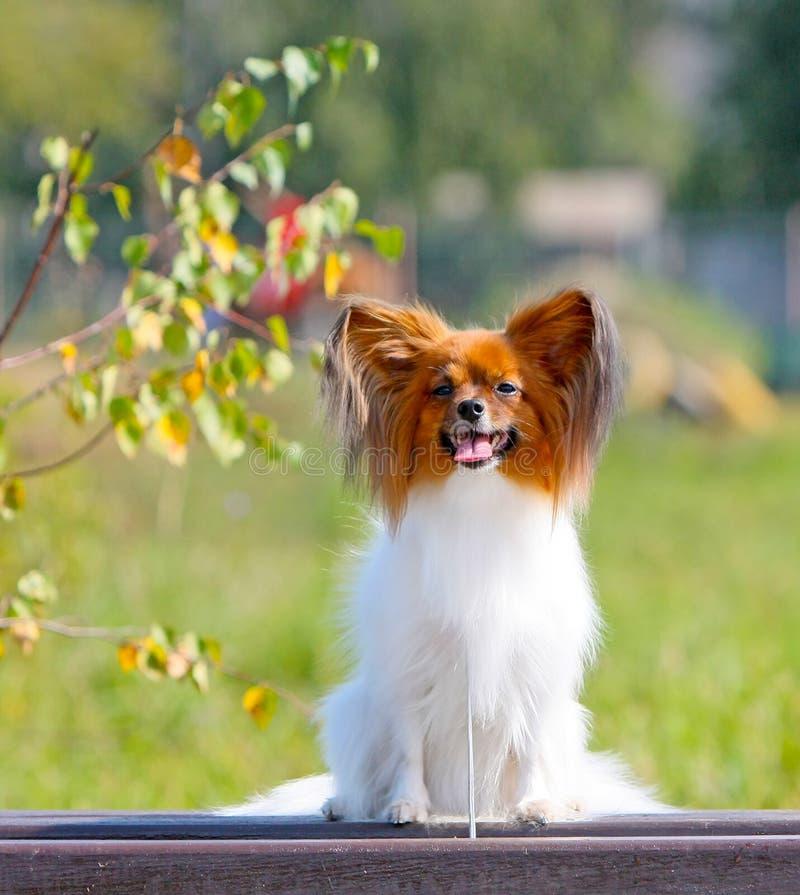 En liten vit-röd hund på en höstlig bakgrund Papillon sitter på en träbänk royaltyfria foton