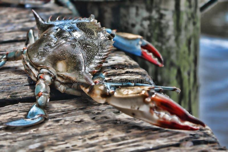 En LIve Crab p? en skeppsdocka i Florida royaltyfri foto