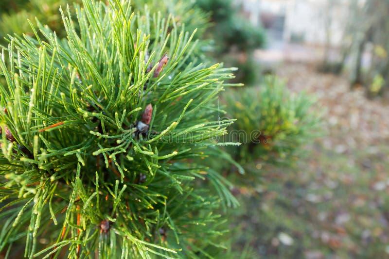 En ljus evergreen att sörja filialer för trädgräsplanvisare med regndroppar och spindelnätet Gran-träd med dagg, barrträd, prydli arkivfoton