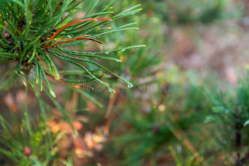 En ljus evergreen att sörja filialer för trädgräsplanvisare med regndroppar och spindelnätet Gran-träd med dagg, barrträd, prydli arkivfoto
