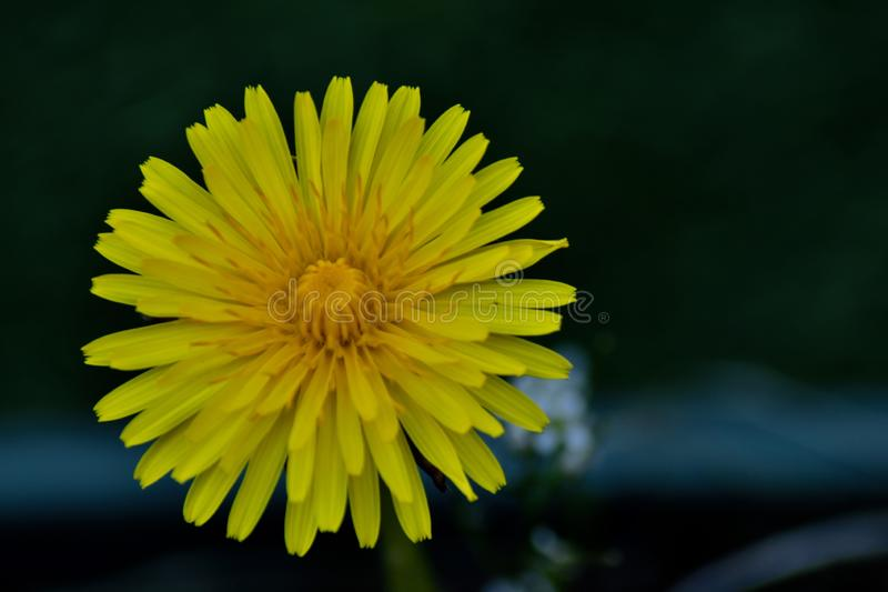 En ljus gul maskrosblomma royaltyfria foton