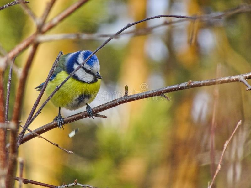 En ljus guling-blått fågel sitter i ett träd - Eurasian blå mes royaltyfri foto