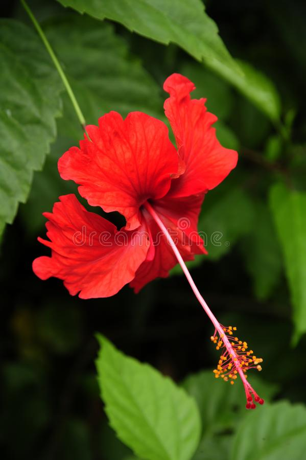 En ljus röd hibiskusblomma royaltyfri fotografi