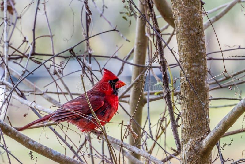 En ljus röd manlig kardinal Bird i ett träd arkivfoto