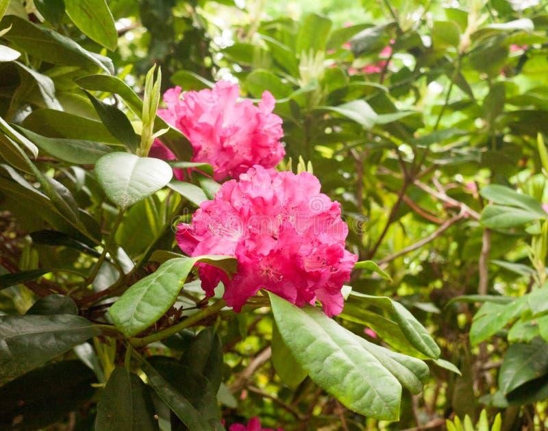 En ljus röd rhododendron för ursnygg lillfinger utanför slut upp på en t royaltyfri fotografi